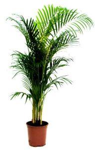 Areca palm ( Chysalidocorapus lutescens )